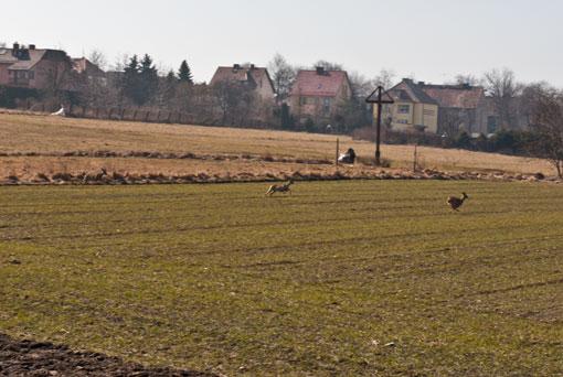 Sarny na polu w Miechowicach
